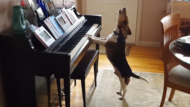 dog pianist thumb